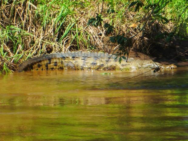 4meter Kroko im Tortuguero National Park