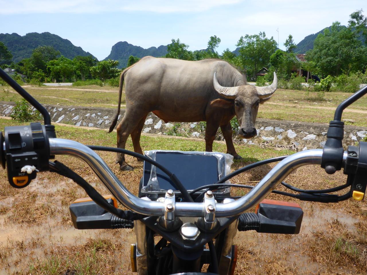 Bubalus arnee, oder der gemeine Wasserbüffel- ist wirklich gemein wenn er unbeleuchtet